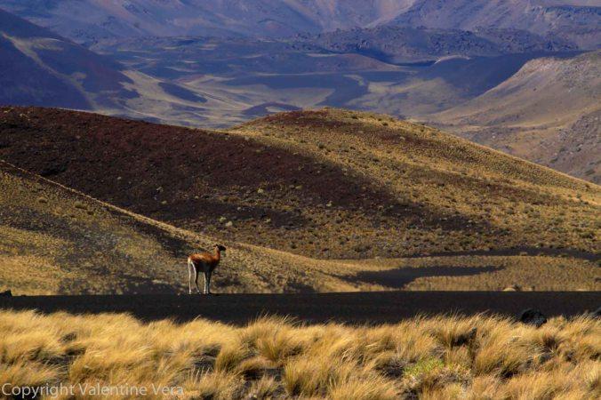 Argentina - Payunia - 2015